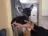Teacup chihuahua puppies for sale ready now !