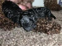 Tiny Toy Poodle Puppies NEW BORN
