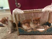 Ginger/white playful kittens for sale