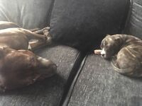 9 week old female Staffordshire bull terrier for sale
