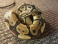 Male Royal / ball python