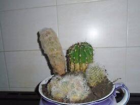 well established cacti in pot
