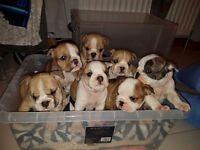 british bulldog pups kc reg