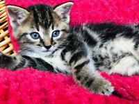 SOLD Beautiful blue eyes tabby kittens. Next week will be more