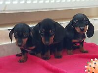 Divine miniature dashchunds (sausage/wiener dog) for sale - TOO CUTE - into loving hands only