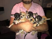 2 Boys Chihuahua Puppy's For Sale