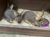 8 week old bunnies