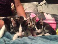 Fluffy Blue eyed kittens for sale