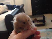 Siberian hamster for sale