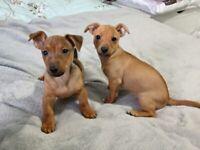 Jack Russell puppies half minature tan 1 male 1 female