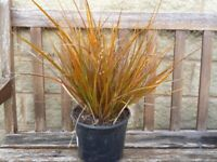Striking Ornamental Grass