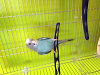 Selling budgie with cage- STILL AVAILABLE