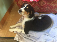 Collie cross Irish Red and White Setter 4 months old