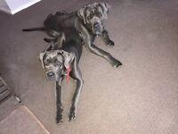 Blue ICCF Cane Corso pups (Italian bullmastiff)
