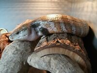 Blue tongued skink male approx 6 years lovely nature