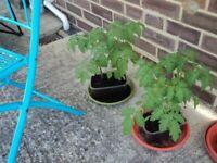 Tomato plants for sale - 'Gardeners' Delight' and 'Marmande'. £1 per plant.