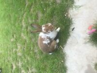 Selling my male rabbit