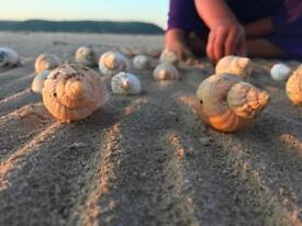 Oversized whelk shells
