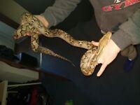 Female platinum het purple reticulated python