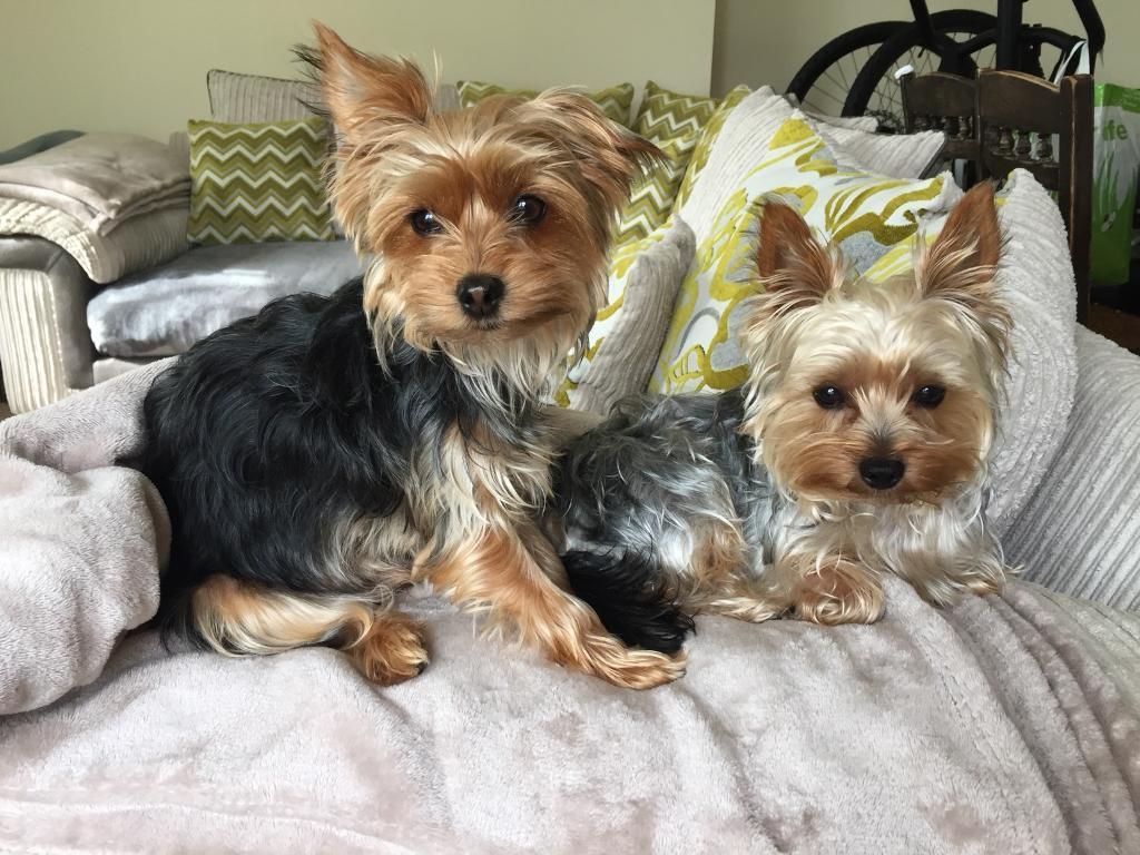 miniature yorkshire terrier puppies in derriford devon gumtree