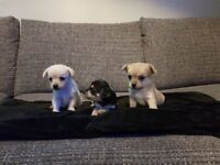 Chihuahua puppies x3 For Sale