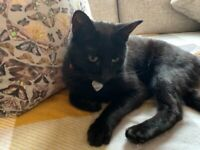 Beautiful 1yr 6 month old young all black cat