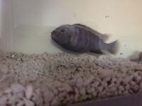 **FREE** Approx 10 cm big blue Malawian Cichlid free to new home/tank!