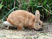 PREMIUM bunny - ginger/black male
