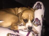 Male puggle beagle X pug