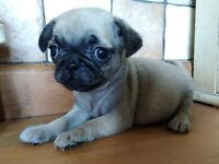 Fawn PUG puppies **ONE FULLY VETTED GIRL AVAILABLE*** reduced due to timewasters