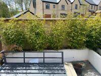 5 x Bamboo plants