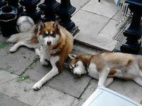 6 beautiful we siberian husky pups