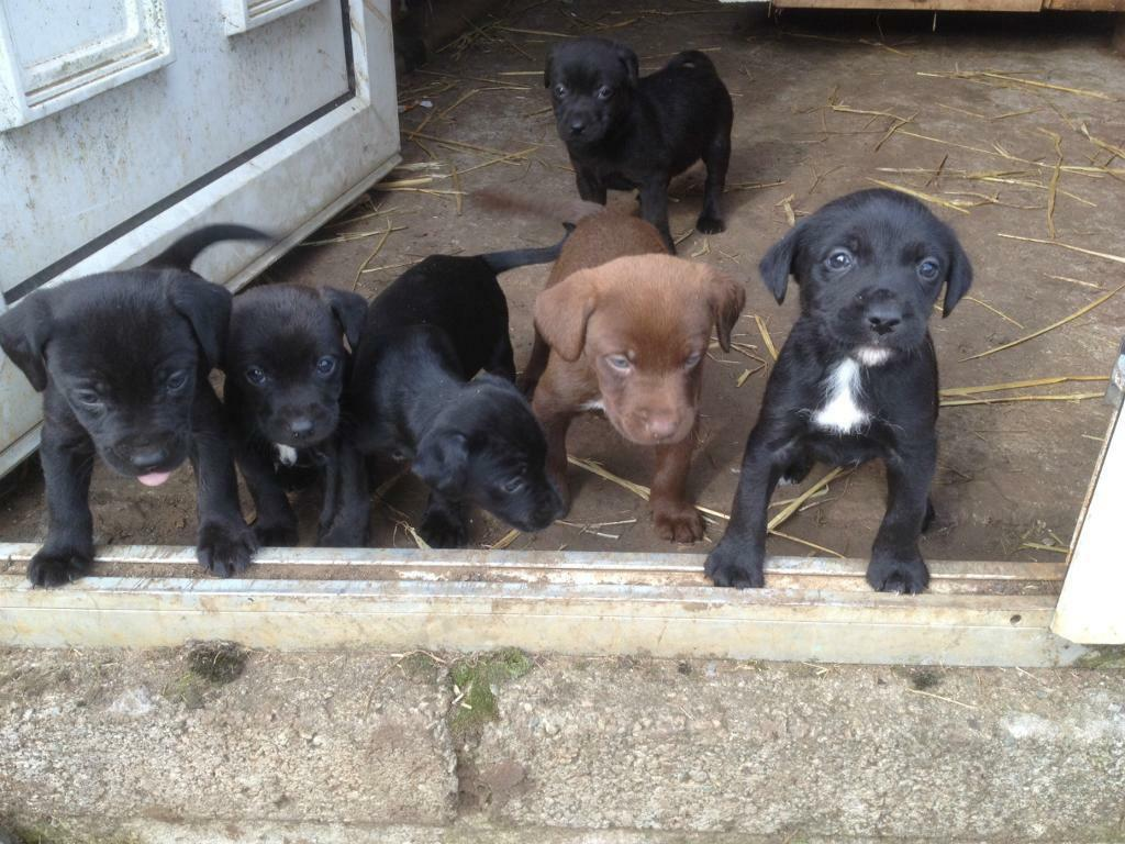Boxer Dog For Sale Edinburgh