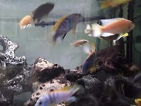 """3"""" to 4"""" Malawii Fish (blue with yellow top)"""
