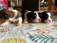 Cavishion x Caviler puppies