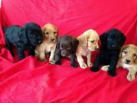 4 cockerspaniel pupies for sale