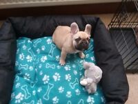 KC Registered Fawn French Bulldog -12 weeks old