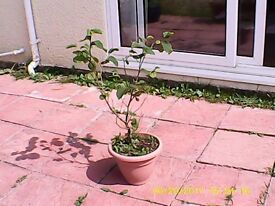 Young Trees For Sale