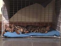 2 Bengal kittens pedigree 600 each
