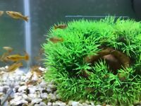 Platy babies for sale