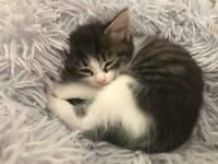 Beautiful female tabby and white kitten