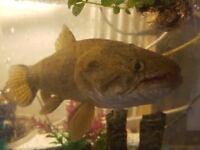 Wolf Fish for sale. Very rare Aimara Wolf fish