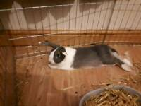 Rabbit (1 year) free to a good home