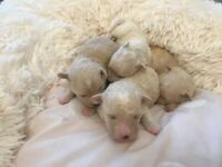 Beautiful KC Registered Bolognese pups