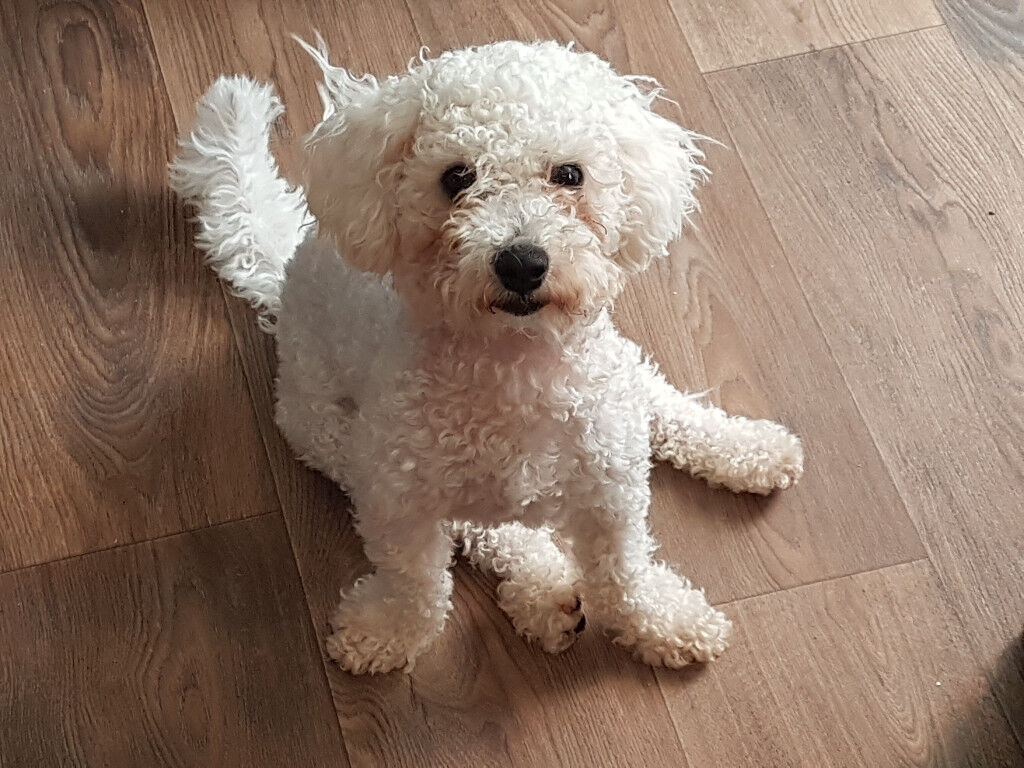 7 Month Old Bichon Frise Female   in Grantham ...