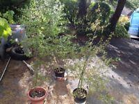 hawthorn trees - three