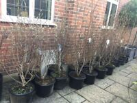 Magnificent Magnolia Plants lovely & established various heights up to 6-8ft height