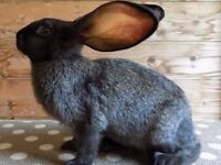 Continental Giant Rabbits / Male
