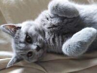 British Shorthair Kittens with pedigrees.