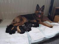 German sheperd pups